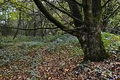 Ancient boundary bank, Stoke Wood, Oxfordshire.