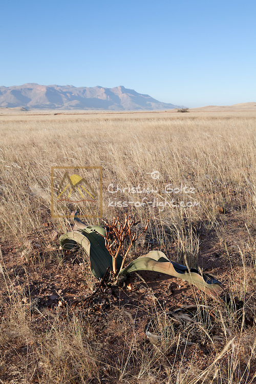 A lone male Welwitschia (Welwitschia mirabilis) plant survives in the plains near the Brandberg Mountain in former Damaraland in central Namibia.