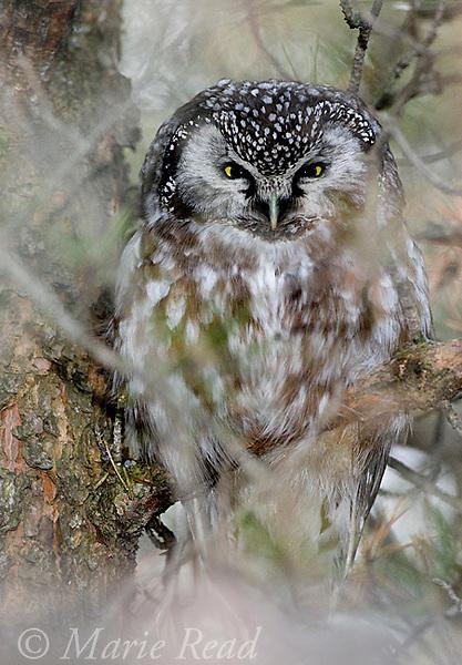 Boreal Owl (Aegolius funereus), roosting, Amherst Island, Ontario, Canada