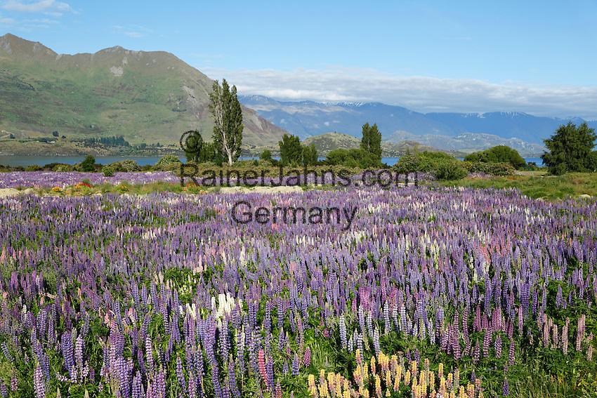 New Zealand, South Island, Otago region, Wanaka: Field of Lupins along Beacon Point Road | Neuseeland, Suedinsel, Region Otago, Wanaka: Lupinen (Lupinus) entlang der Beacon Point Road