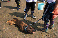 A Tosa, receives attention from one of the vets on-hand to deal with the numerous injuries at the dog fight in Nagasaki, Japan. Here the vet checks the dogs heart. A few dogs die during each meeting, mostly due to exhaustion and from heart failure..