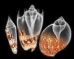 X-ray blend study of three patterned shells (on black) by Jim Wehtje, specialist in x-ray art and design images.