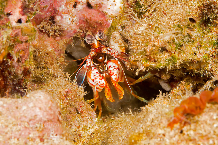 The shortnose mantis shrimp, Odontodactylus brevirostris, is a smasher that is unusual to find in Hawaii.