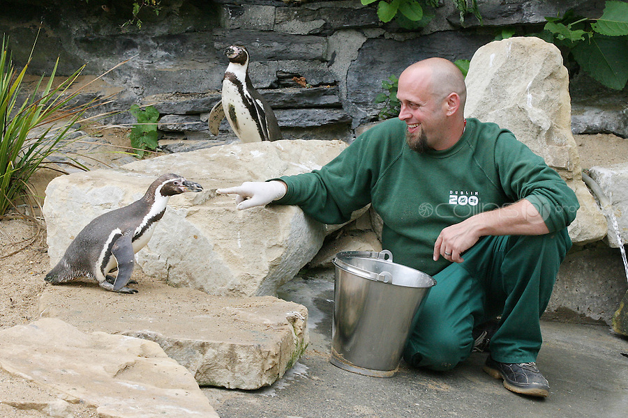 8/7/2010. Missing Penguin. Kelli the 10-year-old female penguin Kelli is pictured back at the Zoo with her mate and keeper Garth Dejong.Three men are being sought after a penguin was stolen from Dublin Zoo this morning. The bizarre theft happened at around 8.30am before the zoo opened to the public. Three men climbed the perimeter fence and entered the penguin habitat, capturing a 10-year-old female named Kelli.  They put her into a sack and left the zoo where they hailed a taxi passing through the Phoenix Park. They told the driver they had a rabbit with them and he dropped them in Dublin's north inner city. Picture James Horan/Collins PhotosThe penquin was found on Rutland Street and was taken back to the Zoo by gardaí from Store Street.
