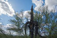 A Paloverde, Cercidium sp., grows around an old Saguaro cactus, Carnegiea gigantea, in Saguaro National Park, Arizona