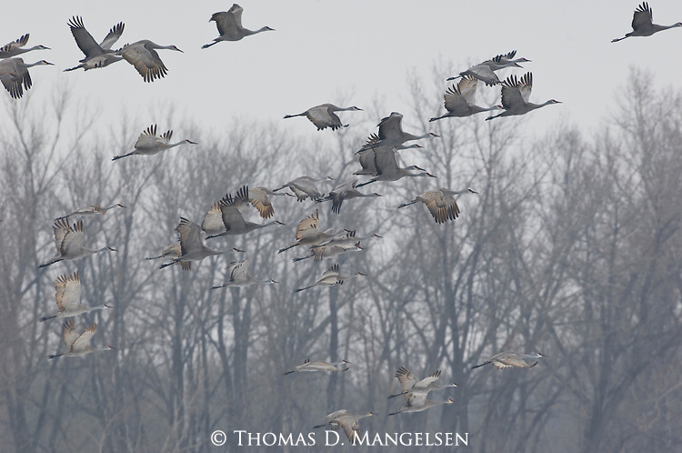 Sandhill cranes flying over the Platte River in Nebraska during their annual migration.