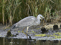 Grey Heron - Ardea cinerea L 90-98cm. Familiar wetland bird. Stands motionless for long periods. Flies on broad wings with slow, deep wingbeats; neck is held hunched. Sexes are similar. Adult has whitish grey head, neck and underparts with dark streaks on front of neck and breast; note white forecrown and black sides to crown leading to black nape feathers. Back and upperwings are blue-grey; flight feathers are black. Dagger-like bill is yellowish. Juvenile is similar but crown and forehead are dark grey. Voice Utters a harsh krrarnk in flight. Status Common resident. Favours freshwater wetlands but also on coasts in winter.