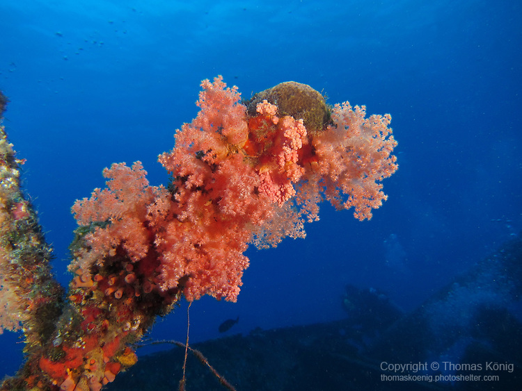 Orchid Island (蘭嶼), Taiwan -- Soft coral growing on the Ba Dai Ship Wreck (八代沉船)