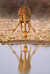 South African Giraffe, Etosha National Park, Namibia