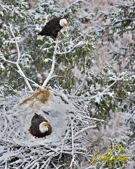 Two Eagles nest, bald eagles, spring snow, Idaho