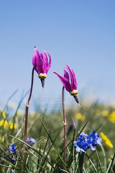 Darkthroat Shootingstar (Dodecatheon pulchellum), blossom,Rocky Mountain National Park, Colorado, USA
