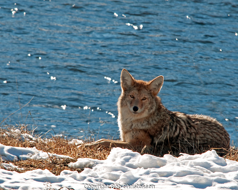 Montana and Wyoming Coyote Photos