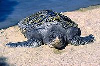 green sea turtle, Chelonia mydas, San Diego, California