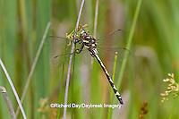 06496-00210 Arrowhead Spiketail dragonfly (Cordulegaster obliqua) female in fen, Reynolds Co., MO