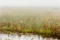 Canadian Goose family on foggy morning in Klamath National Wildlife Refuge, Oregon.  May.