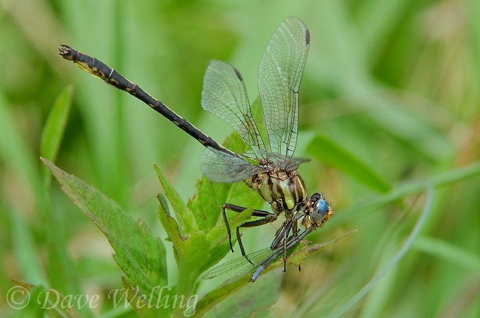 334060003 a wild female oklahoma clubtail gomphus oklahomensis perches on wild grass stems while feeding on a damselfly in the sam houston national forest in san jacinto county in east texas