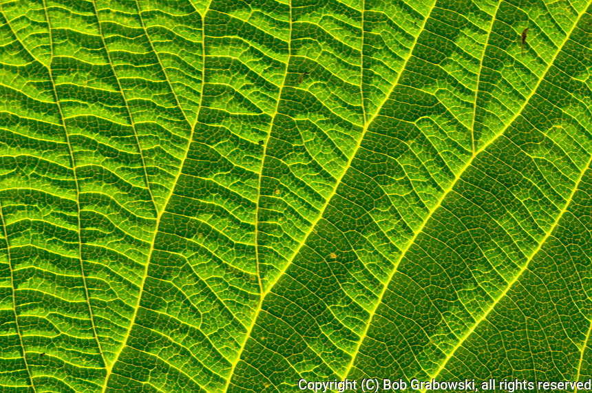 Closeup of a Witch Hobble leaf, Viburnum lantanoides, in the Adirondack Mountains of New York State