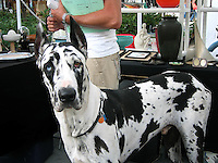 Harlequin black and white Great Dane dog with one blue eye and one brown eye. Miami Beach flea market.