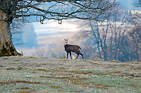Solitary chamois in a morning field