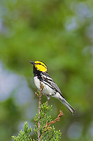 591850015 a wild federally endangered juvenile male golden-cheeked warbler setophaga chrysoparia - was dendroica chrysoparia - perches in a fir tree singing on balcones canyonlands national wildlife refuge travis county texas