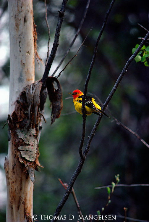 Western Tanager perched in a tree in Grand Teton National Park, Wyoming.