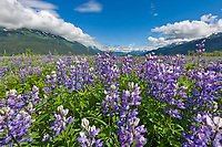 Arctic lupine blooms near the 20 mile river along the New Seward Highway, southcentral, Alaska.