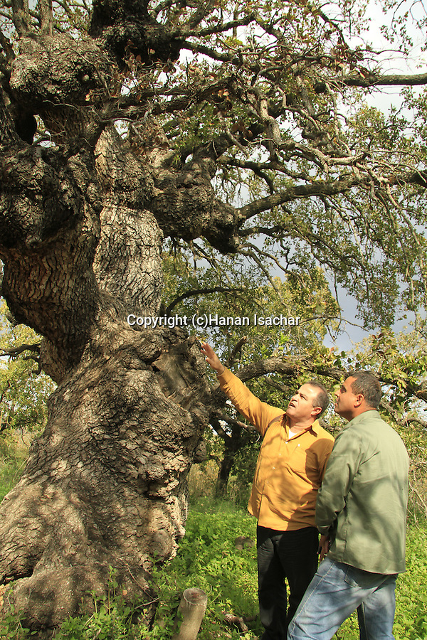 Israel, Lower Galilee, Mount Tabor Oak at Alon Tavor Field School