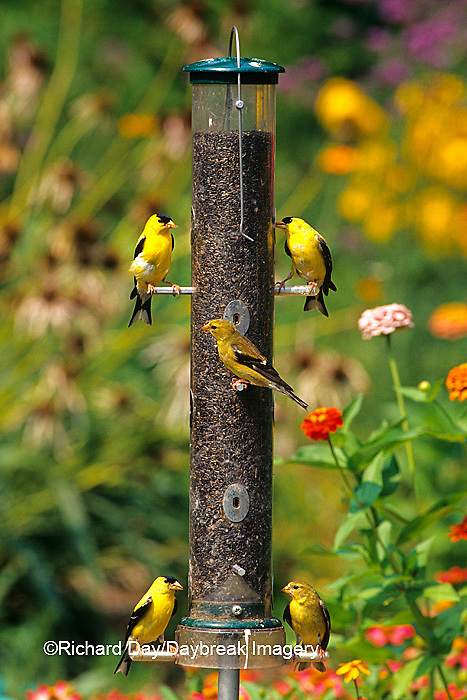 01640-11710 American Goldfinches (Carduelis tristis) at nyjer feeder in flower garden Marion Co. IL