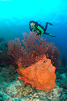 nr0328-D. scuba diver Melissa Cole (model released) admires Deepwater Sea Fan (Iciligorgia schrammi) and Orange Elephant Ear Sponge (Agelas clathrodes). Belize, Caribbean Sea.<br /> Photo Copyright &copy; Brandon Cole. All rights reserved worldwide.  www.brandoncole.com