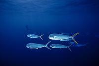 game fish, dolphin fish, dorado or mahi mahi, Coryphaena hippurus, Mexico, Pacific Ocean