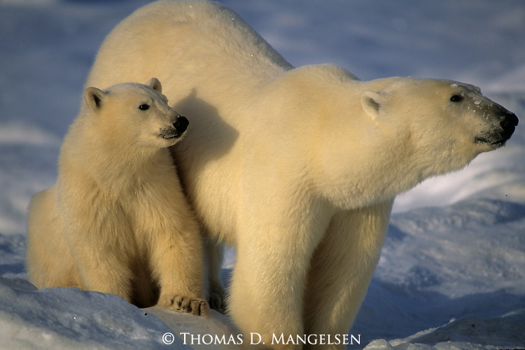 A polar bear and cub stand in the snow in Canada.