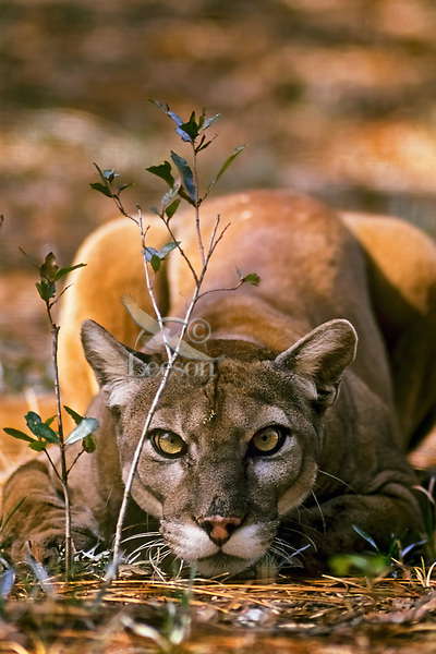 Florida Panther (Puma concolor coryi) in Southern Florida.  Endangered species.