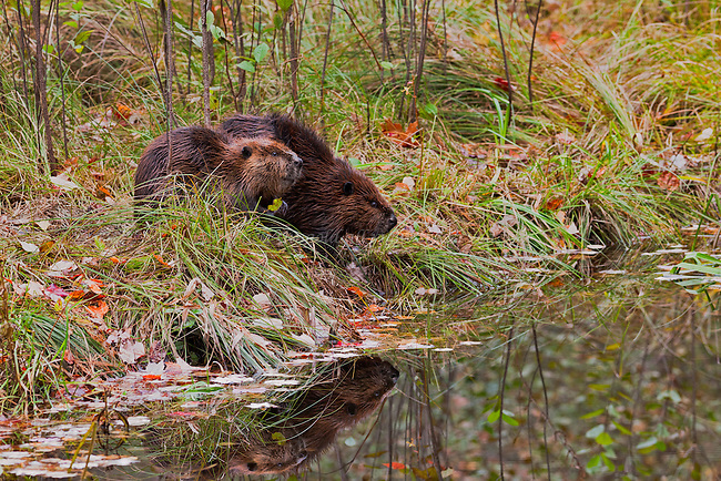 A beaver pair along the Middle Branch of the Swift River in New Salem, Massachusetts.