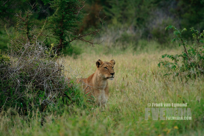 Lioness  (Panthera leo).At dawn. Conservation status: Vulnerable..Fall, March 2007..Kruger National Park, South Africa.