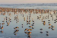 Mixed flock of shorebirds--mostly dunlins and western sandpipers--feeding along tideline on northern migration along Pacific Ocean Coast,  Washington State.  morning.