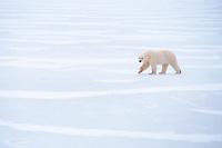 polar bear, Ursus maritimus, waiting for freeze, Churchill, Hudson Bay, Manitoba, Canada, polar bear, Ursus maritimus