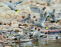 Bohemian Waxwings (Bombycilla garrulus) bathing/drinking along lakeshore.  Northern Rockies, fall.