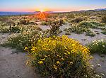 Anza Borrego Desert State Park, California:<br /> Sunrise at Yaqui Meadows with brittlebush (Encelia farinosa) in foreground