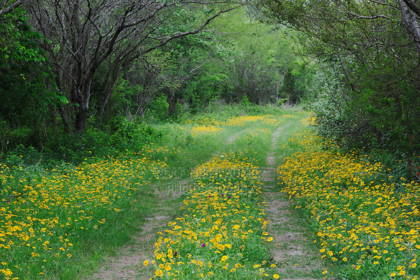 Ranch road with Huisache Daisy (Amblyolepis setigera) wildflowers, Fennessey Ranch, Refugio, Coastal Bend, Texas, USA
