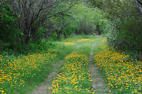 Ranch road with Huisache Daisy (Amblyolepis setigera) wildflowers, Fennessey Ranch, Refugio, Coastal Bend, Texas, USA