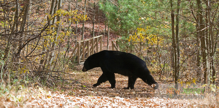 Black Bear, Delware Water Gap, New Jersey