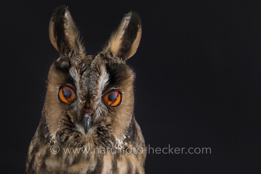 Waldohreule, Nickhaut am Auge, Waldohr-Eule, Asio otus, long-eared owl, Le Hibou moyen-duc