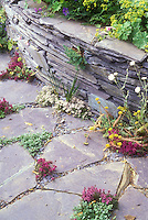 Herbs in crevices of stone path, thymes Thymus with raised bed stone wall garden, alchemilla mollis, mixture of plants