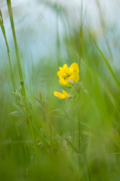 Bird's foot trefoil, Lotus corniculatus in hay Meadow - Clattinger farm, Wiltshire. This habitat has been reduced in the UK through intensified farming by 98% since the second world war and is highly endangered.