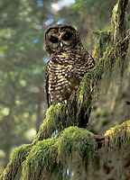 Spotted Owl, Washington
