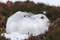 Mountain Hare Lepus timidus Length 45-60cm Has shorter ears and more compact body than Brown Hare. Tail is uniformly white and ears are tipped black. Adult Scottish race has greyish brown coat in summer, palest on underparts and most rufous on head. Underfur is blue grey. In winter, acquires thick, whitish coat except for buffish nose. Adult Irish race has reddish brown summer coat and variably buffish brown and white winter coat. Mostly silent. Scottish animals favour heather moors and mountains. Irish Hares favour more grassy habitats.