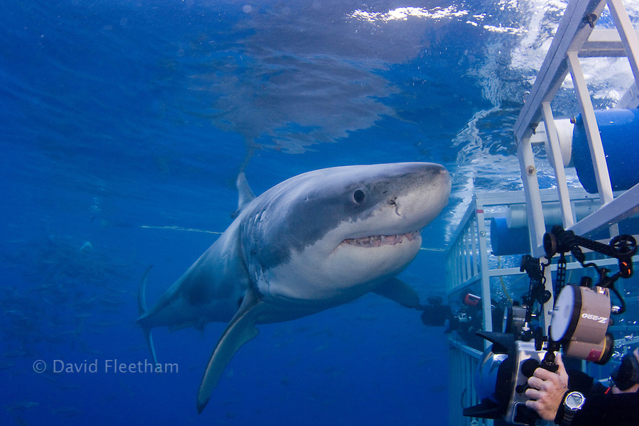 This Great White Shark, Carcharodon carcharias, is giving divers in a shark cage a close look off Guadalupe Island, Mexico.