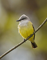 Flycatchers and Kingbirds