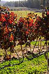 Israel, Shephelah, a vineyard by Park Britannia
