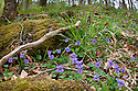 Wood Violet / Common Dog Violet (Viola riviniana) flowering in deciduous woodland. Yorkshire Dales National Park, UK. April.